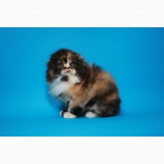Красивая шотландская кошечка, очень пушистая. Вислоухая