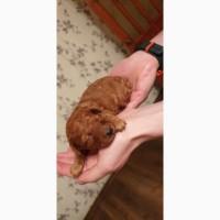 Продается щенок красного карликового пуделя (мальчик) Родился 8.04