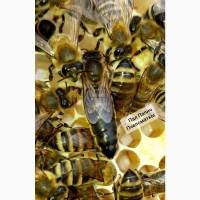ПЛіДНІ Бджолинні матки/ пчеломатки/матки Карпатська порода