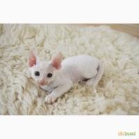 Продаются очаровательные котята Девон-Рекс