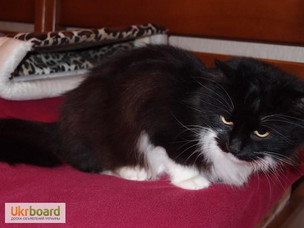 Фото 2. Шикарная кошка, норвежская лесная, в поисках дома