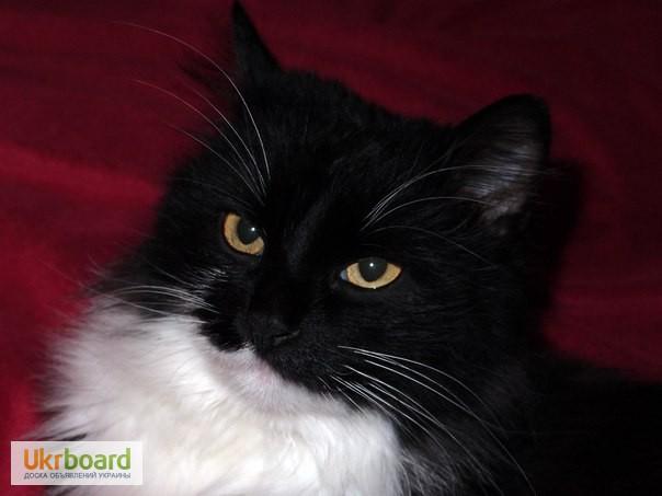 Фото 3. Шикарная кошка, норвежская лесная, в поисках дома