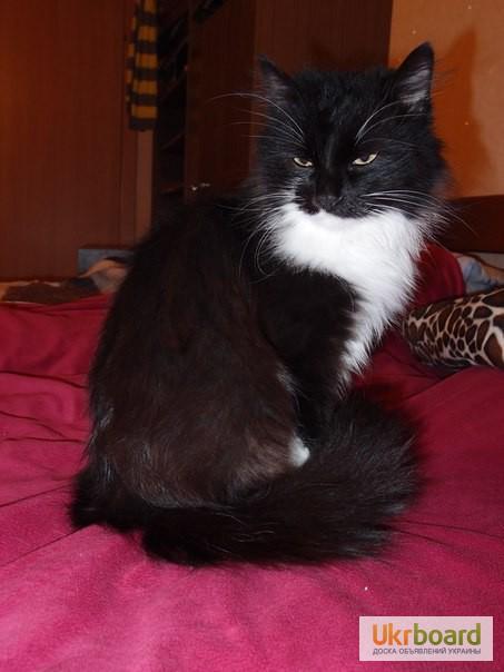 Фото 4. Шикарная кошка, норвежская лесная, в поисках дома