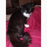 Шикарная кошка, норвежская лесная, в поисках дома
