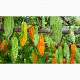 Момордика харанция ( Momordica charantia ), гіркий гарбуз, індійський огірок або гранат