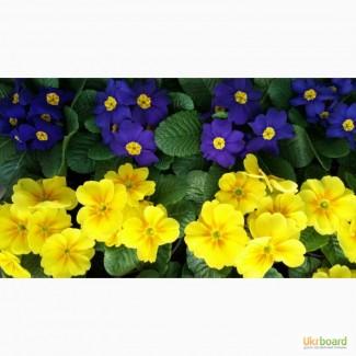 Купить примулу оптом в Киеве к 8 марта, цветы на 8 марта, цена, недорого, стоимость, прода