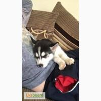 Сибирские хаски щенки - немедленно свяжитесь с нами