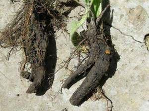 Фото 3/3. Продам корінь живокоста