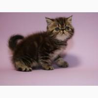 Экзотические котята от клубных выставочных родителей