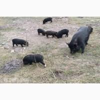 М#039;ясо в#039;єтнамських свиней Київ