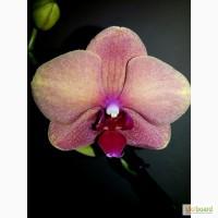 Продам красивые орхидеи