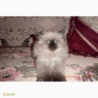 Продам персидского котенка
