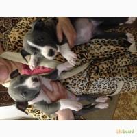 Продам голубого окраса щенки Американского Стаффордширского Терьера