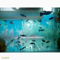Аквариумные рыбки - меченосцы, моллинезии