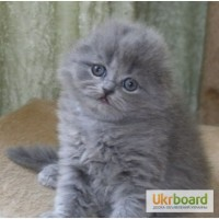Вислоухий котенок, скоттиш фолд, голубая девочка
