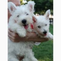 West Highland White Terrier/ Вест-хайленд-уайт-терьер