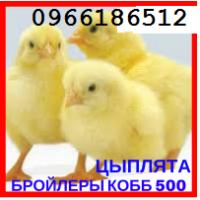 Добові курчата бройлери / cуточні бройлери, курчата опт і роздріб