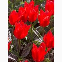 Продам луковицы Тюльпанов Грейга и много других растений (опт от 1000 грн)