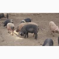 Свиноматки, хряки, живое мясо 100-200кг фото+видео от производителя