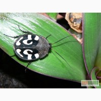 Продам узорчатые тараканы ( Therea olegrandjeani )