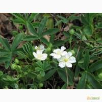 Пятипал лапчатка белая (корень) 50 грамм