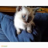 Балинезийские котята, мальчики