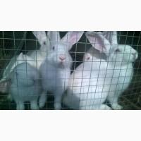 Продам кролей белый паннон
