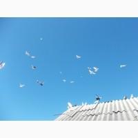 Продам голубей бакины и николаевские летные