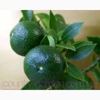Продам саженцы Апельсина с плодами (комнатное растение) и много других растений
