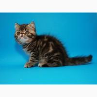 Котёнок экзот в окрасе чёрный мрамор