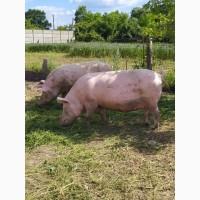 Свиноматки (Велика біла / Ландрас (F1)) спаровані Дюроком та Петреном