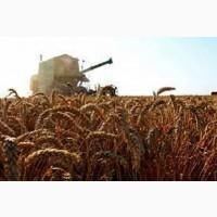 Семена пшеницы ЛЕННОКС 1 репрод