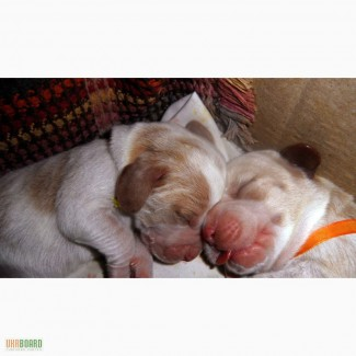 Элитные щенки Бассет-Хаунда
