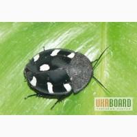 Продам Тараканы домино (Therea petiveriana)