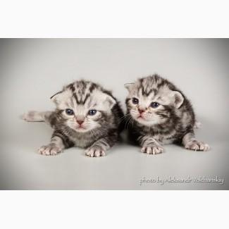 Редкая порода- Американские короткошерстные котята