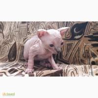 Продам прекрасных котят сфинкса