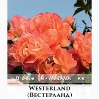 Розы - огромный выбор - саженцы: плетистые розы вьющиеся розы