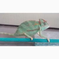 Йеменский хамелеон ( 17-18см)