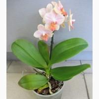 Орхідейки для реанімації