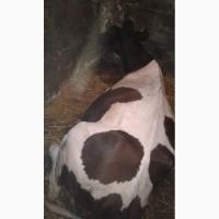Срочто Продам корову