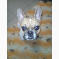 Продам подрощенного щенка французского бульдога
