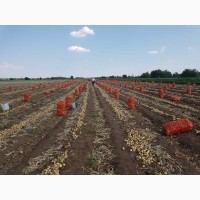 Лук репчатый оптом на прямую с хозяйства. Урожай 2018 года