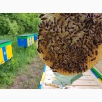 БДЖОЛОМАТКИ Карпатка Плідні матки 2019 (Пчеломатки, Бджоломатки, Бджолині матки Укрпочта