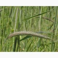 Жито озиме Сіріус | Насіння жита озимого