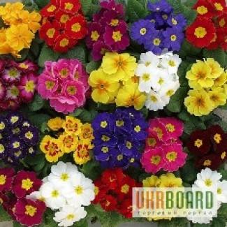 Цветок к 8 марта. Примула, Бегония, цена, купить, оптом
