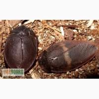 Продам Тараканы-черепашки, капучино (Ergaula capucina)