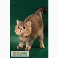 Продаются котята редких окрасов, порода – Британская короткошерстная.