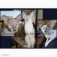 Сиамо-ориентальные котята