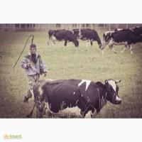 Агрофирма набирает пастухов для выпаса дойных коров на сезон 2020г