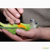 Ручной сенегальский попугай птенцы выкормыши